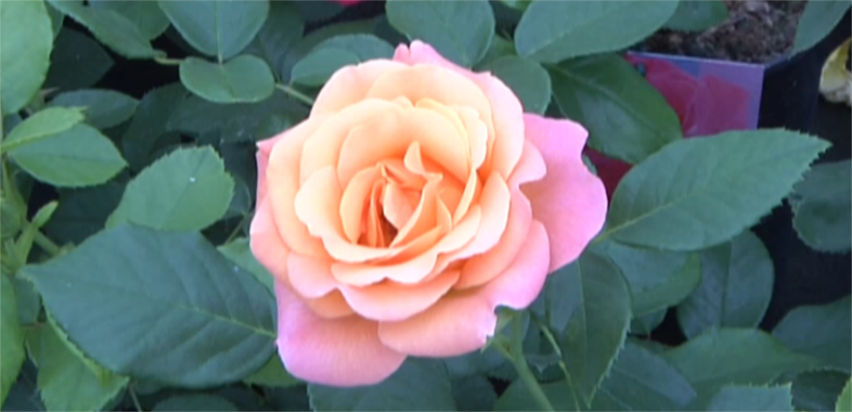 Ziemia Łaska zagłębiem różanym